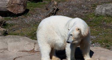 Matan a un oso polar que atacó a un guía turístico en un archipiélago de Noruega