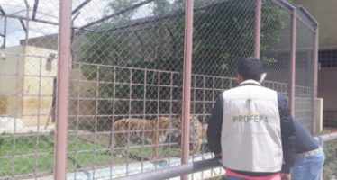 Aseguran dos tigres y un fasián plateado en Tarímbaro Michoacán