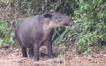 Avistan tapir (Tapirus bairdii) en gestación y águila albinegra (Spizaetus melanoleucus), en Montes Azules, Chiapas
