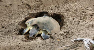 Desova ejemplar de tortuga lora (Lepidochelys kempi) en Coatzacoalcos; es la séptima en 2018
