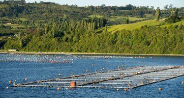 700.000 salmones 'dopados' escapan de una piscifactoría en Chile