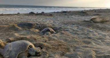 Protegen 17 mil tortugas golfina (Lepidochelys olivacea), en operativo en el Santuario Playa de Escobilla, Oaxaca