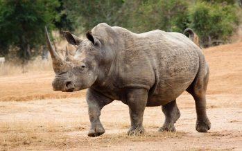 La conservación de rino recibe un impulso publicitario