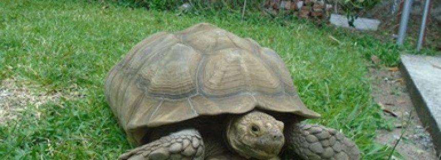 Rescatan 5 ejemplares de tortuga sulcata (Centrochelys  sulcata) en Morelos