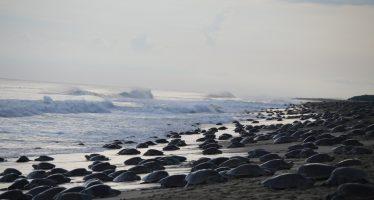 Inició temporada de arribo de tortuga golfina (Lepidochelys olivacea) en costas de Oaxaca