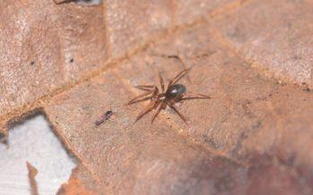 Científicos mexicanos descubren dos especies nuevas de arañas en el volcán Tacaná de Chiapas
