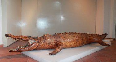 Restauran cocodrilo disecado de 4.5 m, del Museo Regional de Nayarit