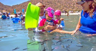 Para mitigar presión de pesca, realizan cuarto repoblamiento de totoaba (Totoaba macdonaldi) en BCS
