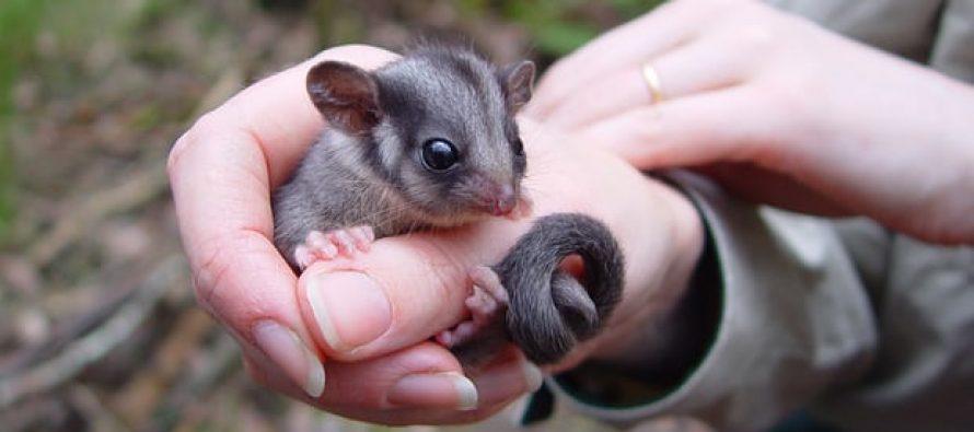 La zarigüeya de Leadbeater: los conservacionistas dicen que está en peligro de extinción