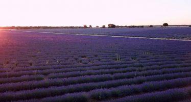Los campos de lavanda de Brihuega, en Guadalajara, a vista de dron