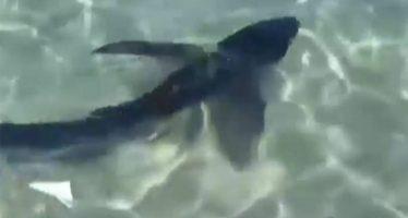 Un tiburón de más de dos metros obliga a evacuar una playa en Mallorca