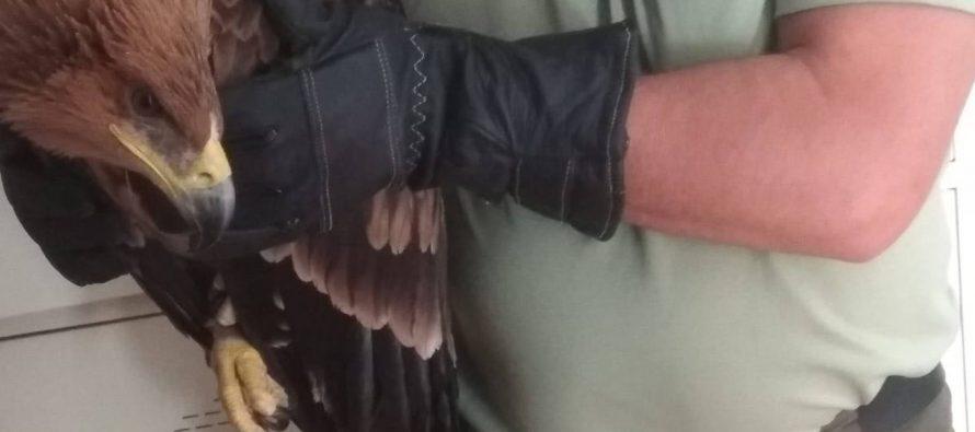 Recuperado un ejemplar de águila imperial con síntomas de deshidratación