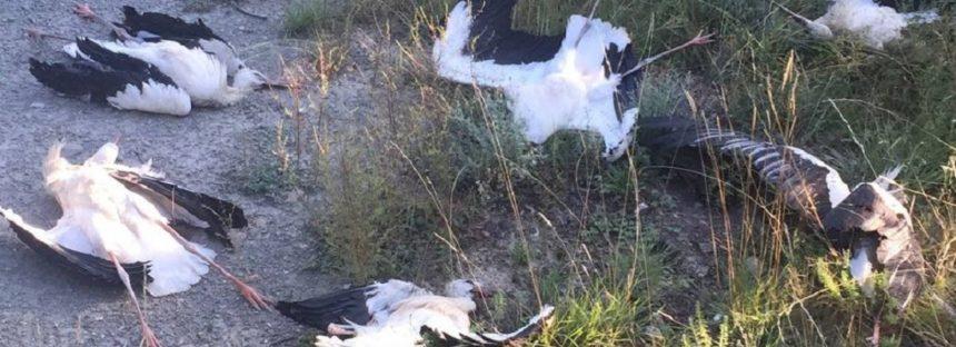 Más de 50 cigüeñas en migración mueren electrocutadas en la provincia de Barcelona