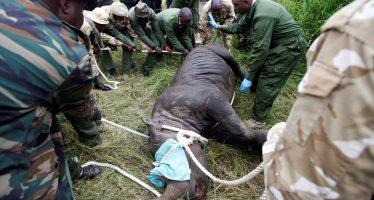 La muerte de 11 rinocerontes negros en el mayor parque natural de Kenia en solo un mes levanta fuertes críticas