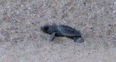 Nacen 33 ejemplares de tortuga boba en la playa de Mataró