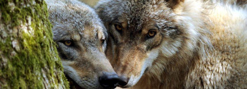 El lobo vuelve a Holanda 150 años después de su desaparición por culpa de la caza