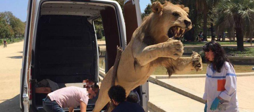 Un león disecado, a la venta en internet por 6.000 euros
