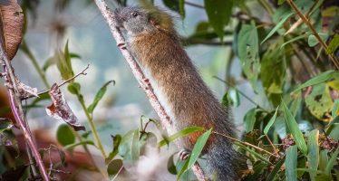 La 'rata de bambú', avistada en Machu Picchu después de 10 años