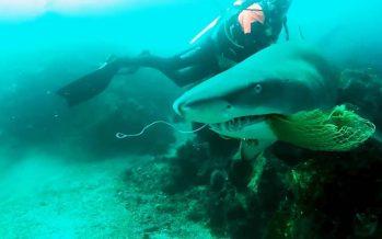 Un buzo español quita una red de pesca enganchada en las agallas de un tiburón