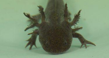 El rescate del hábitat del ajolote