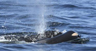 La última oportunidad de Washington para salvar a las orcas en peligro de extinción, pero ¿es demasiado tarde?