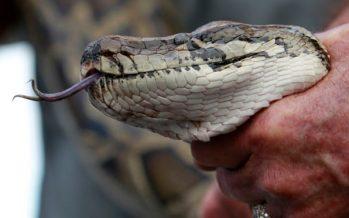 Súper serpiente: pitones híbridas podrían suponer una nueva amenaza para los Everglades de Florida