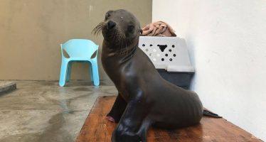 Reintegran un ejemplar de lobo marino de California a su hábitat natural en B.C.S.