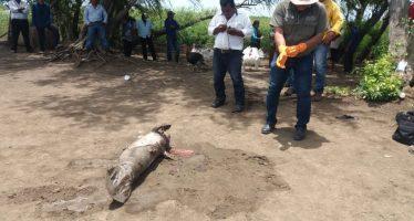 Atienden reporte manatí muerto en comunidad de Centla