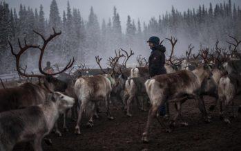 Los renos de Suecia en riesgo de morir de hambre después de la sequía de verano