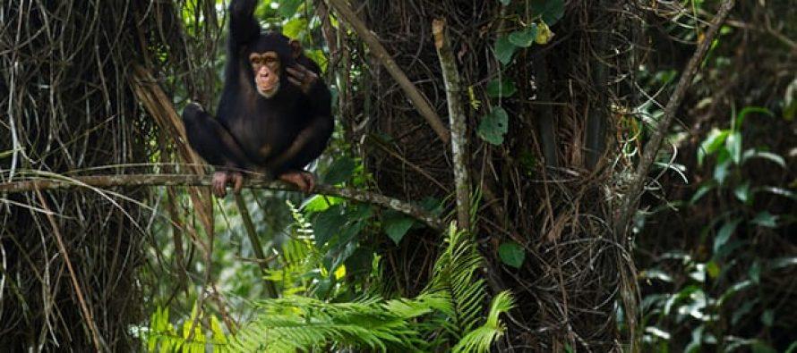 Santuario de chimpancés creado por el Banco Mundial amenazado por represa respaldada por el mismo