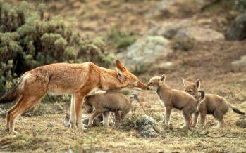 Etiopía despliega vacuna oculta contra la rabia en un intento por proteger al lobo en peligro de extinción