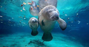 """""""Marea roja"""" tóxica atribuida al aumento de muertes de manatíes en Florida"""