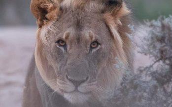 ¿Pueden los leones del desierto de Namibia sobrevivir a la humanidad?