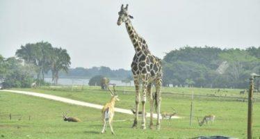 Fallece jirafa del parque Yumká en Tabasco