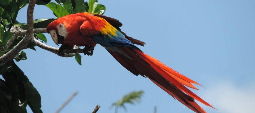 La CONANP participa en la iniciativa de conservación de guacamaya roja en la selva maya