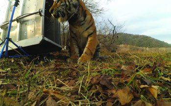 Un cachorro de tigre de Amur consigue una nueva vida