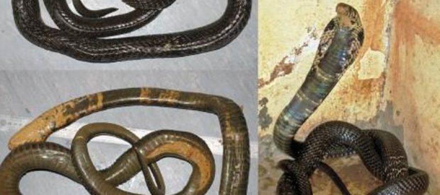 La temida cobra gigante africana es en realidad cinco especies