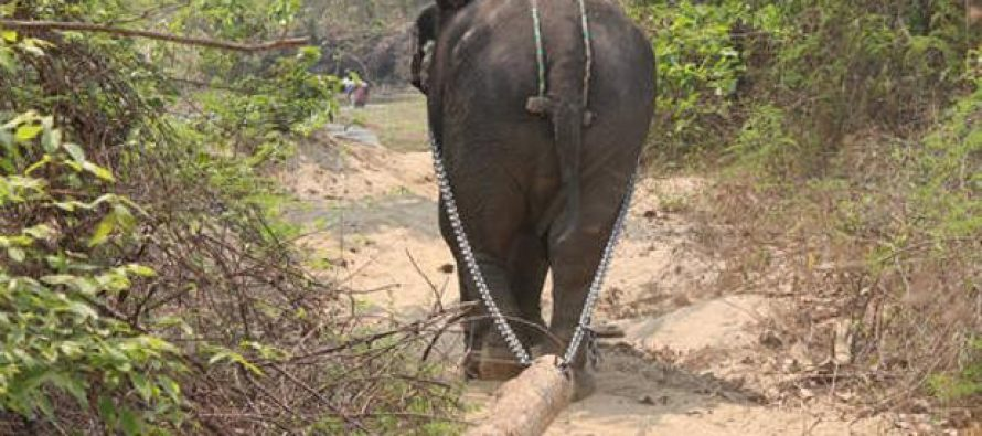 La corta vida de los elefantes que trabajan en los campamentos madereros de Myanmar