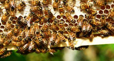 Como la nicotina: un estudio muestra que las abejas desarrollan preferencia por los pesticidas