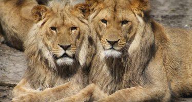 El mayor traslado conservacionista de leones salvajes de la historia