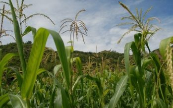 Descubren en EUA una variedad de maíz nativo mexicano que naturalmente captura nitrógeno