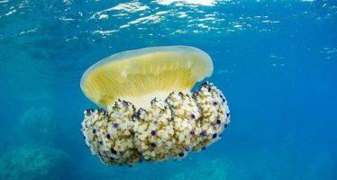 Las medusas más peligrosas que albergan las aguas españolas