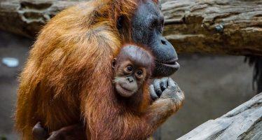 10 cosas que (tal vez) no sabías sobre los orangutanes