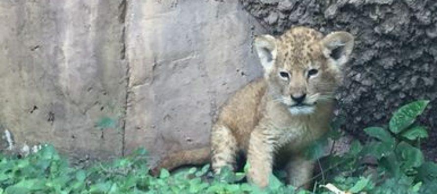 Aseguran un cachorro de león africano por no acreditar su legal procedencia