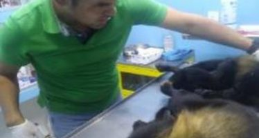 PROFEPA investiga sobre la muerte de dos ejemplares de mono aullador en Acayucan, Veracruz