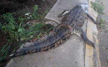 Reportan un ejemplar de cocodrilo muerto en Puerto Vallarta