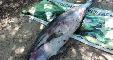 Delfín varado encontrado sin vida en costas de Oaxaca