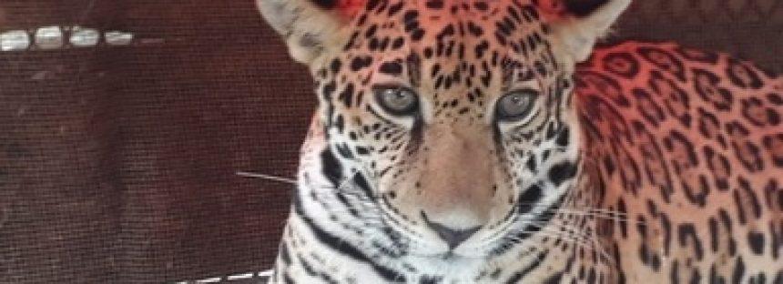 Aseguran jaguar por falta al trato digno y respetuoso, en Tulum, Quintana Roo
