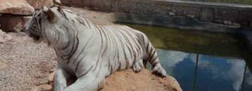 Aseguran dos tigres en rancho del municipio de Baca, Yucatán