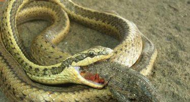 Descubren tres nuevas especies de serpientes en Galápagos